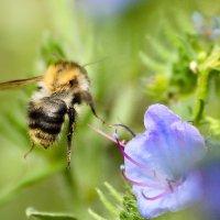 Пчела :: Валерий Чернов