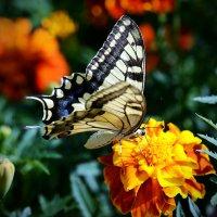 Бабочка :: Асылбек Айманов