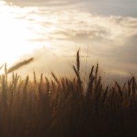 Пшеничное поле :: Руслан Лутов