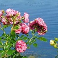 Нежные розы у воды :: Анастасия Белякова
