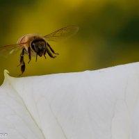 * Граммофон * и пчелка :: АЛЕКСАНДР МИНКОВИЧ