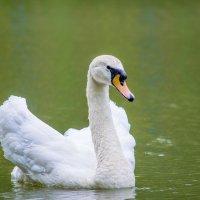 А белый лебедь на пруду ... :: Сергей Масленников