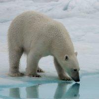 Белый медведь :: Alexey alexeyseafarer@gmail.com