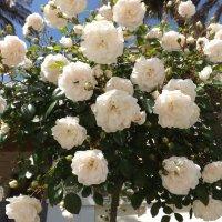 розы :: Ирина Мамчур (Малыгина)