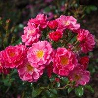 Плетущаяся роза :: Андрей Нибылица