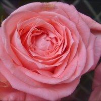 Роза из букета :: Нина Корешкова