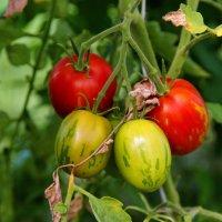 Tomato. :: Алексей Хазов