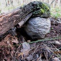 Осиное гнездо размером в мяч :: Надежда Климова