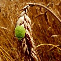 любитель зерна (клоп 4) :: Александр Прокудин