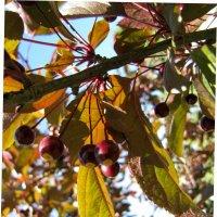 Декоративные яблочки :: veera (veerra)