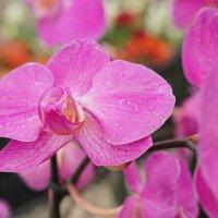 Орхидея :: Андрей Майоров