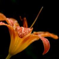 Flower :: alexander zvir