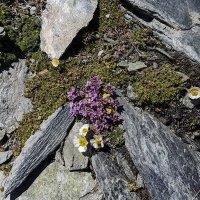 Горные цветочки :: сергей адольфович