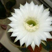 Цветок кактуса :: Надежда