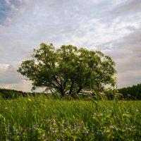 Дерево на лугу. :: Александр Селезнев
