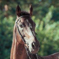 Портрет лошади :: Валерия Репей