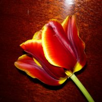 Тюльпан :: Надежда