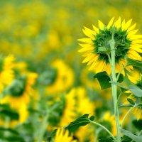 Июль в жёлто-зелёных тонах :: Алексей Меринов