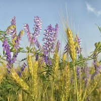 пшеничка :: Marina Timoveewa
