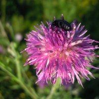 Маленький жук на цветке... :: Андрей Балабуха
