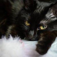 Портрет кошки :: Павел Ящук