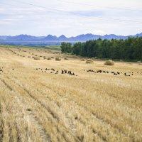 поле с соломой :: Олеся Ханина
