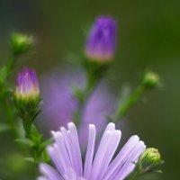 летние цветы 3 :: Дмитрий Барабанщиков