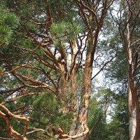 Многодетное дерево :: Сергей Трусов