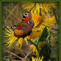 Бабочки. :: Владимир Иванов
