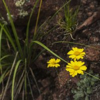 Горные цветы фото 02 :: Наталья Понтус