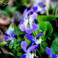 Цветение дикой фиалки :: Инна Дегтяренко
