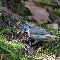 Гренадерка (молодая птица) :: Исаков Александр