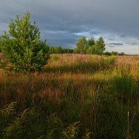 В июльских травах заблудился... :: Владимир Комышев