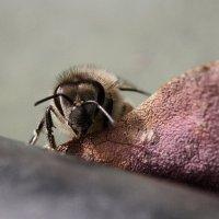 Пчела :: Александр Русинов