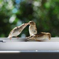 слеток кормит слетка :: linnud
