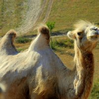 .. Очаровательная блондинка-верблюдица Катя. :) :: Арина Дмитриева