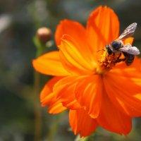 Пчела на цветке :: Леонид Дудко