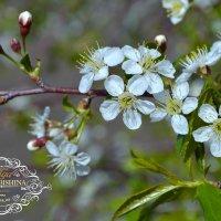 яблоня в цвету :: Ольга Ознобишина