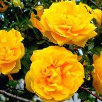 Жёлтые розы :: Виктор Шандыбин