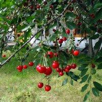 Урожай вишни в храме . :: Мила Бовкун
