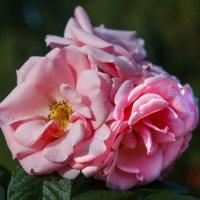 Розовый букетик :: Андрей Нибылица