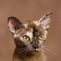 портрет бурманской кошки :: Елена Волгина