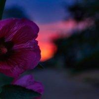 Цветы на закате :: Анатолий Клепешнёв
