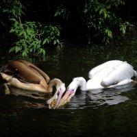 Пеликаны :: Ната Еременко
