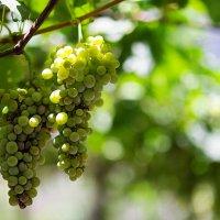 Виноград :: Aleksandra Kilic