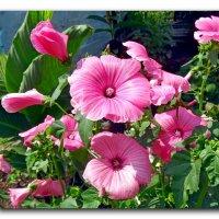 Лето в розовых тонах. :: Чария Зоя