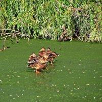 утки на болоте :: Александр Корчемный