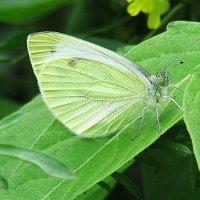 бабочка-козочка :: Марина Ринкашикитока