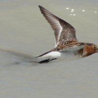 Песочник-красношейка на Борзинских озерах :: Анна