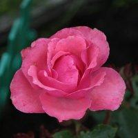 Роза :: Артур Капранов